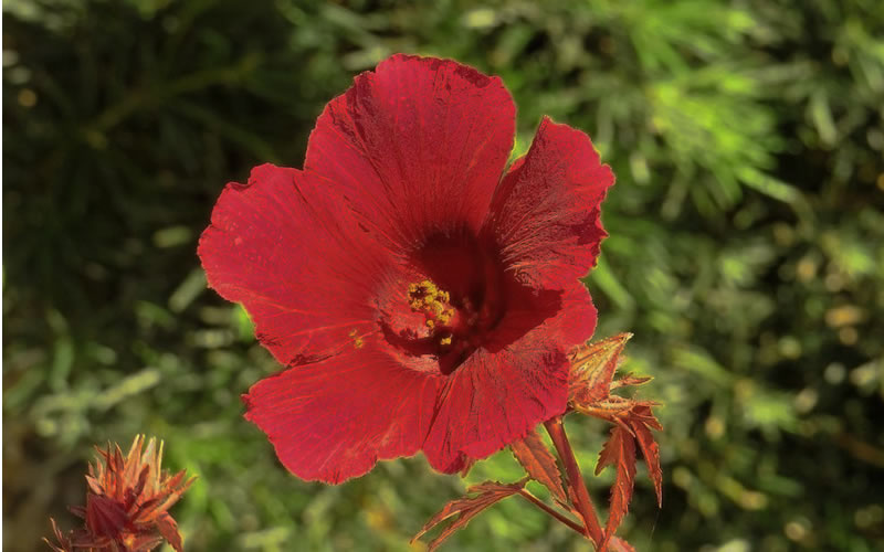 Buy Panama Red Hibiscus For Sale Online From Wilson Bros Gardens