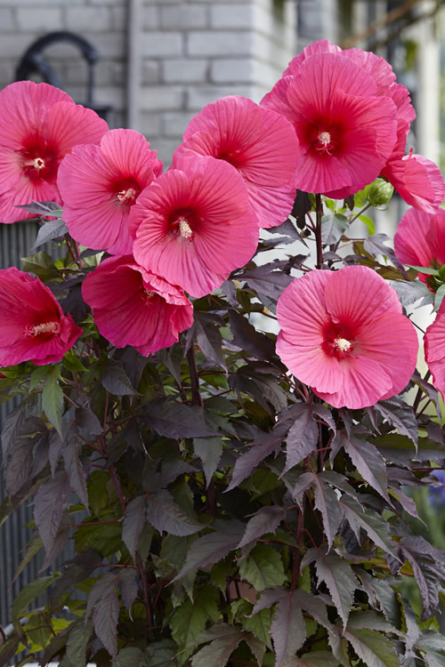 Buy Pink Passion Carousel Hibiscus For Sale Online From Wilson Bros