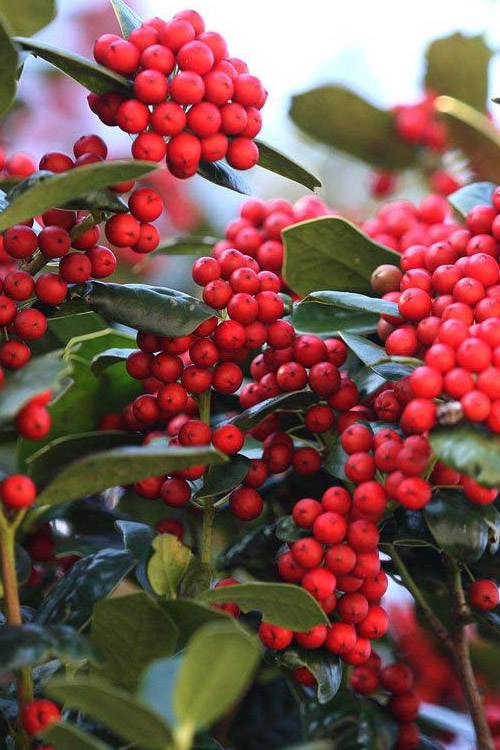 Dwarf Burfordi Holly - Ilex cornuta - 3 Gallon Pot
