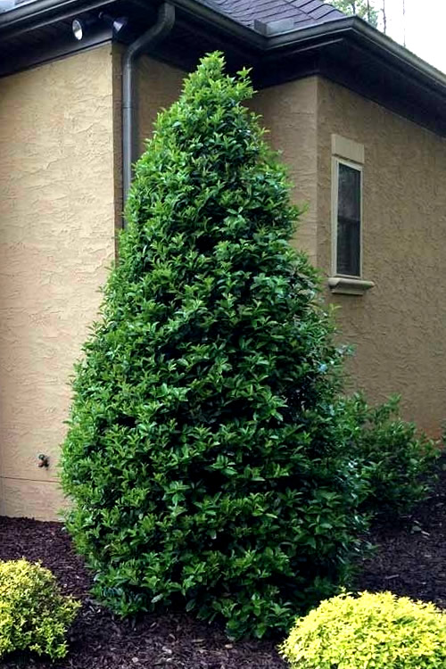 Buy Oakland Holly Trees Free Shipping 5 Gallon Size