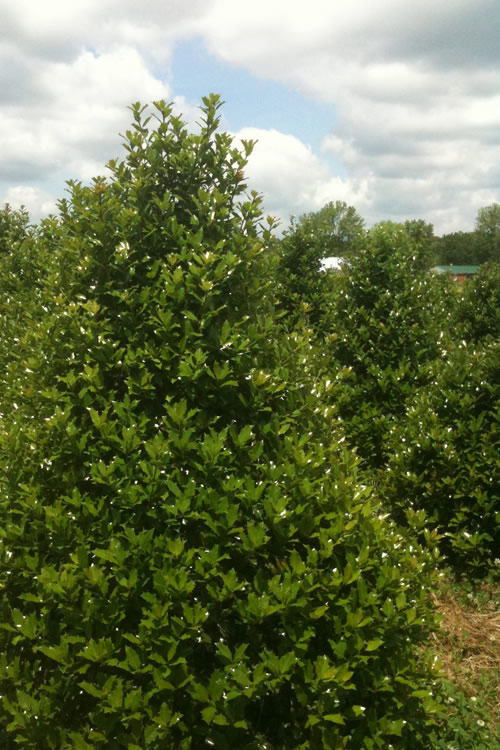 Buy Robin Holly For Sale Online From Wilson Bros Gardens