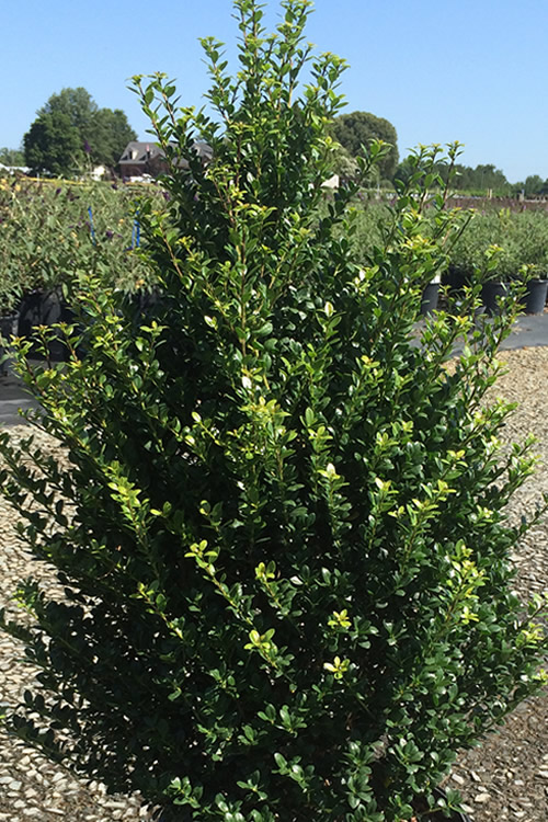 Steeds Pyramidal Japanese Holly
