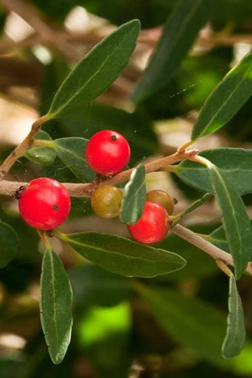 Buy Scarlets Peak Holly For Sale Online From Wilson Bros