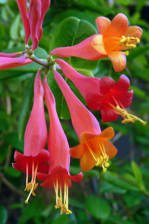 Buy Coral Trumpet Honeysuckle Vine For Sale Online From