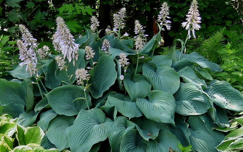 Buy Blue Angel Hosta Lily Plant For Sale Online From Wilson Bros Gardens