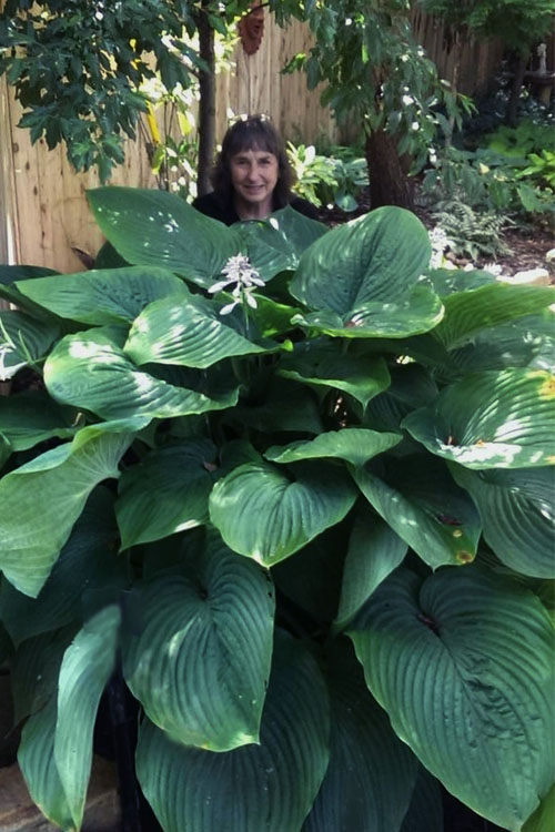 Empress Wu Giant Hosta Lily - 1 Gallon Pot