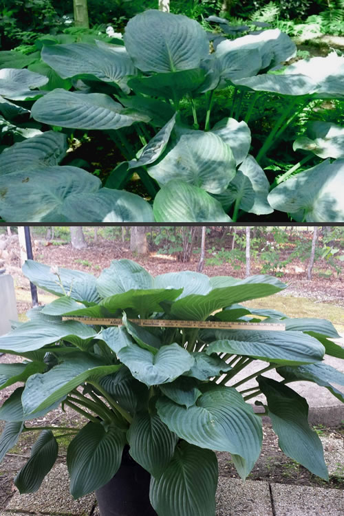 Buy Empress Wu Giant Hosta Lily For Sale Online From Wilson Bros