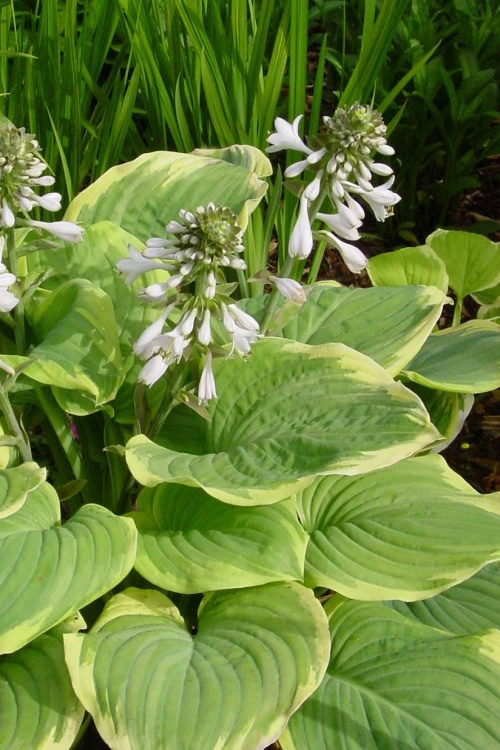 Buy Fragrant Bouquet Hosta Lily Plant Free Shipping For Sale