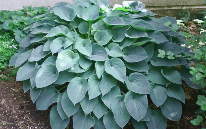 Buy Halcyon Blue Hosta Lily Plant For Sale Online From Wilson Bros