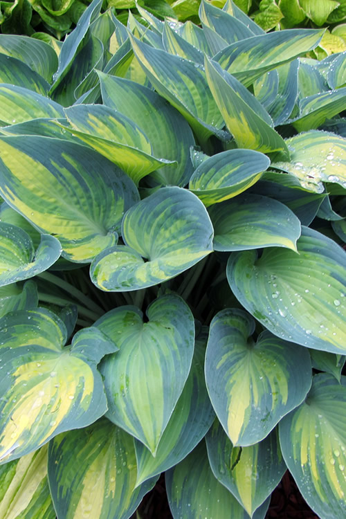 Buy June Hosta Lily Plant For Sale Online From Wilson Bros Gardens