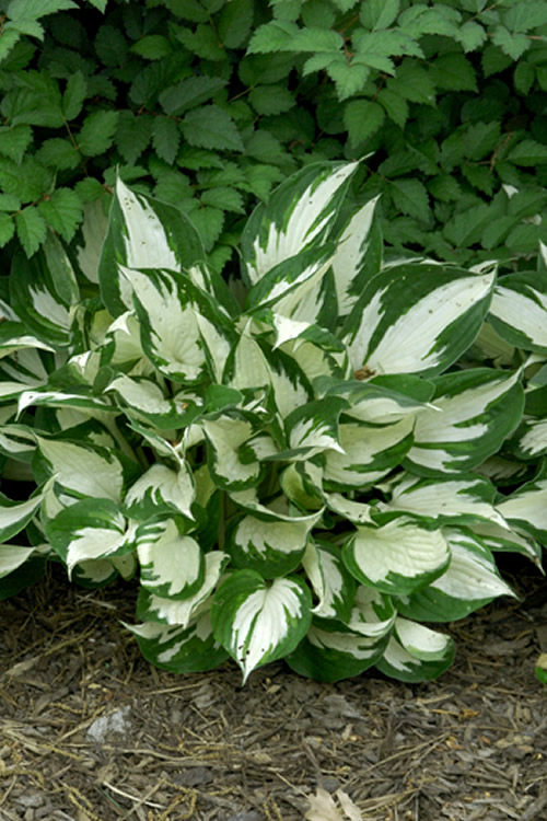 Buy Loyalist Hosta Plantain Lily Plant For Sale Online From Wilson