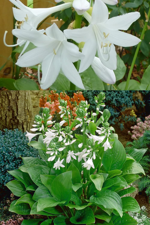 Buy Royal Standard Hosta Lily Plant For Sale Online From Wilson Bros