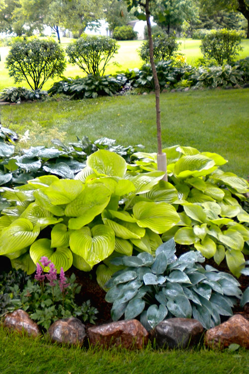 Buy Sum And Substance Hosta Lily Free Shipping 1 Gallon Size