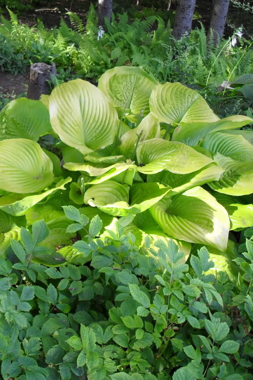 Buy Sum And Substance Hosta Lily For Sale Online From