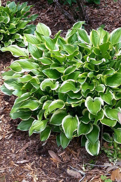 Sunhosta Hosta Lily - 1 Gallon Pot