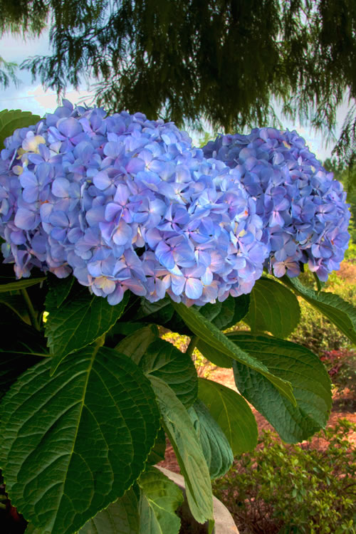 Buy Big Daddy Hydrangea Free Shipping For Sale From