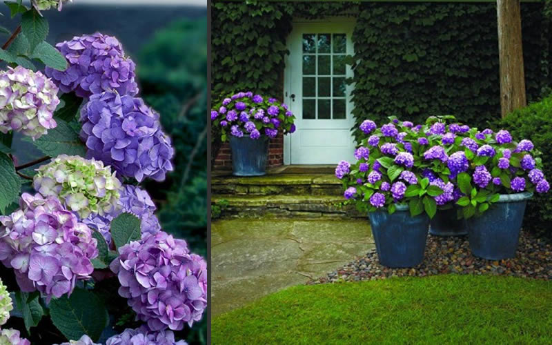 Buy Bloomstruck Endless Summer Hydrangea For Sale Online From Wilson ...