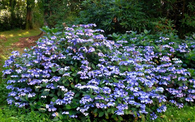 Buy Blue Wave Lacecap Hydrangea Free Shipping Bushes
