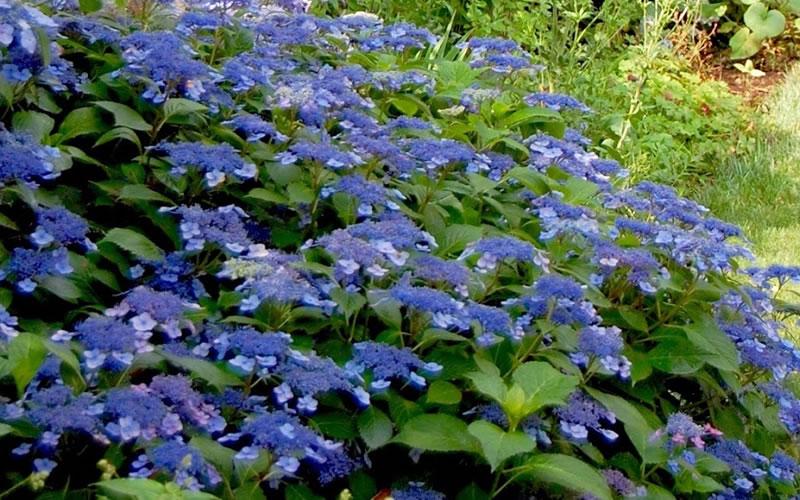 Bluebird Lacecap Hydrangea 12-18 in Hydrangea serrata /'Bluebird/' tall Plant