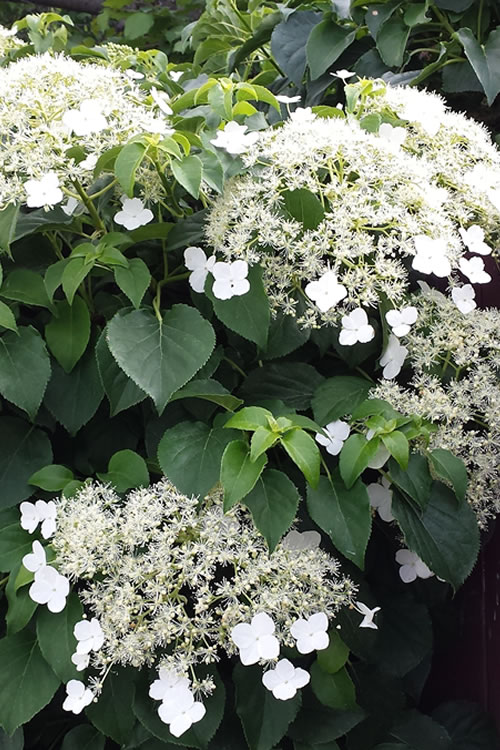 buy climbing hydrangea petiolaris for sale online from. Black Bedroom Furniture Sets. Home Design Ideas