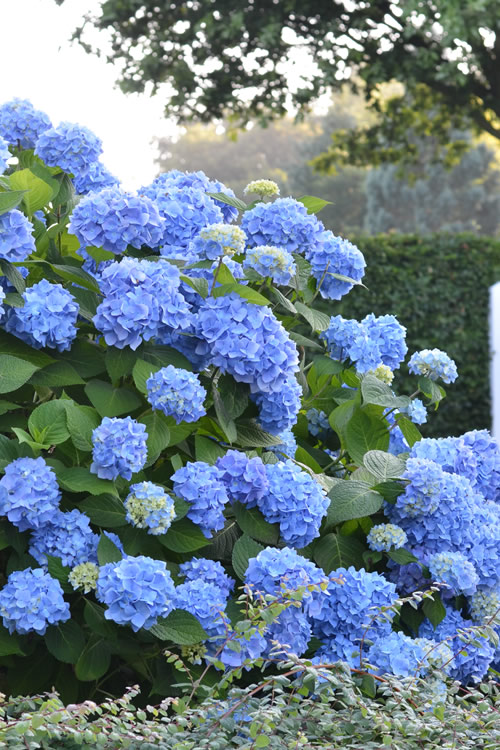 Endless Summer Hydrangea Original - 3 Gallon Pot - (PRE-ORDER: Starts Shipping 11/15/2019)