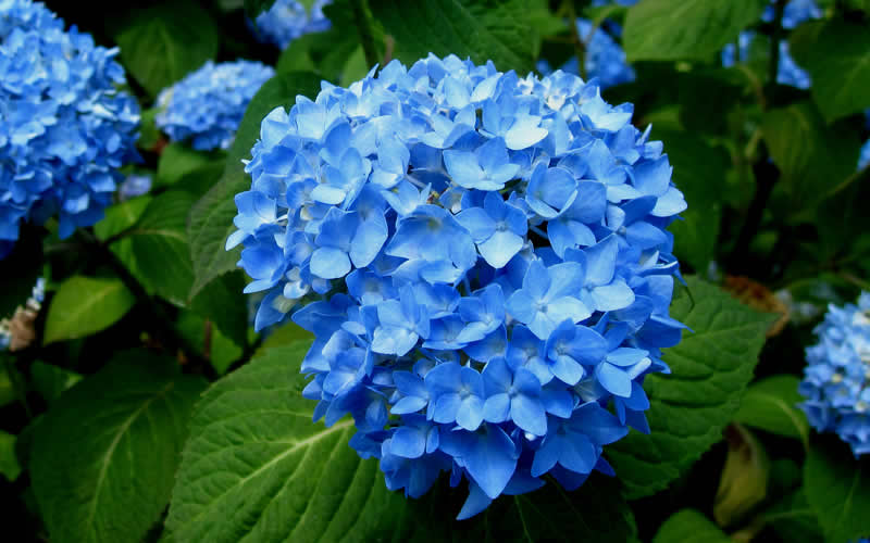 hydrangea endless summer buy endless summer hydrangea for from wilson 28837