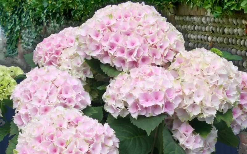 Buy everlasting ocean hydrangea plants for sale online from wilson soft pink flowers that are ruffled on the edges the 6 to 8 inch flower clusters rise on strong and sturdy stems above rounded mounds of handsome green mightylinksfo