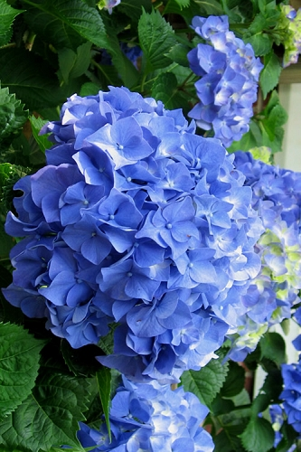 Glory Blue Hydrangea - 1 Gallon Pot