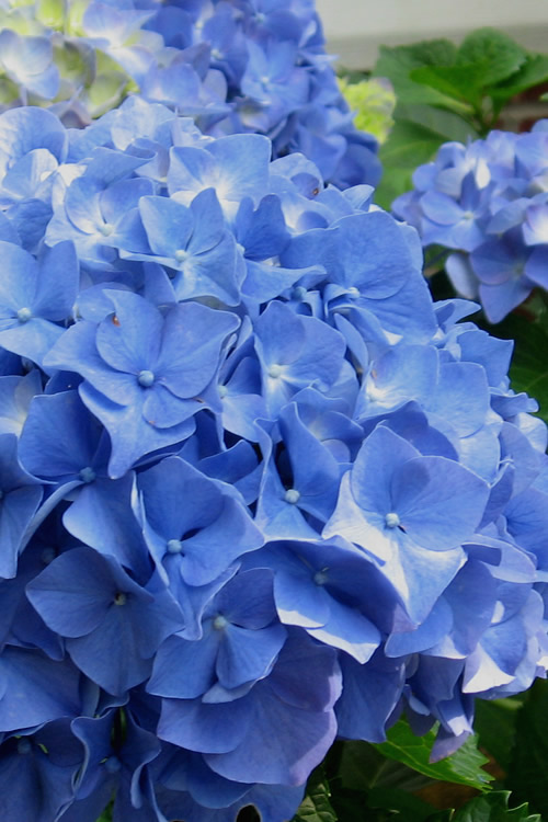 Add To My Lists Glory Blue Hydrangea