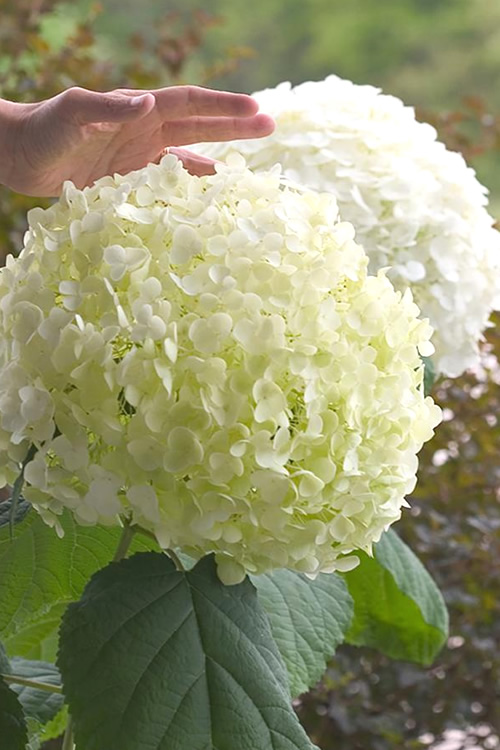 Buy Incrediball Smooth Hydrangea Plants For Sale Online