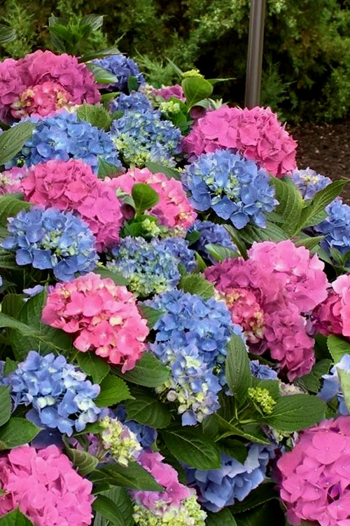 Buy L A Dreamin Hydrangea Free Shipping For Sale