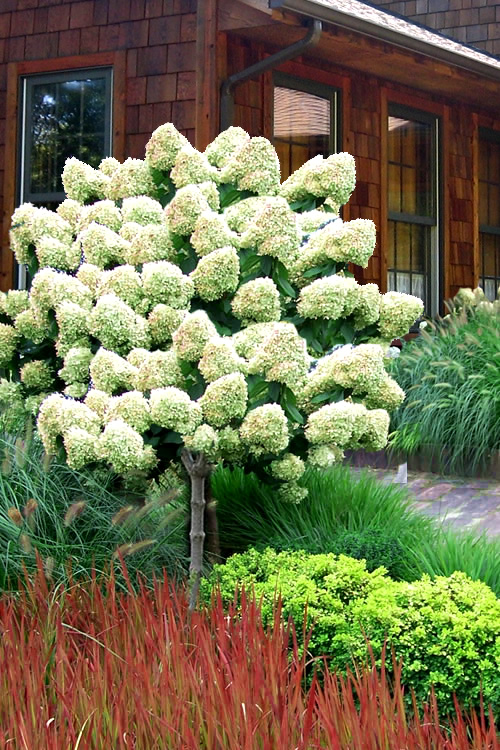 Buy Limelight Peegee Hydrangea Free Shipping 5 Gallon