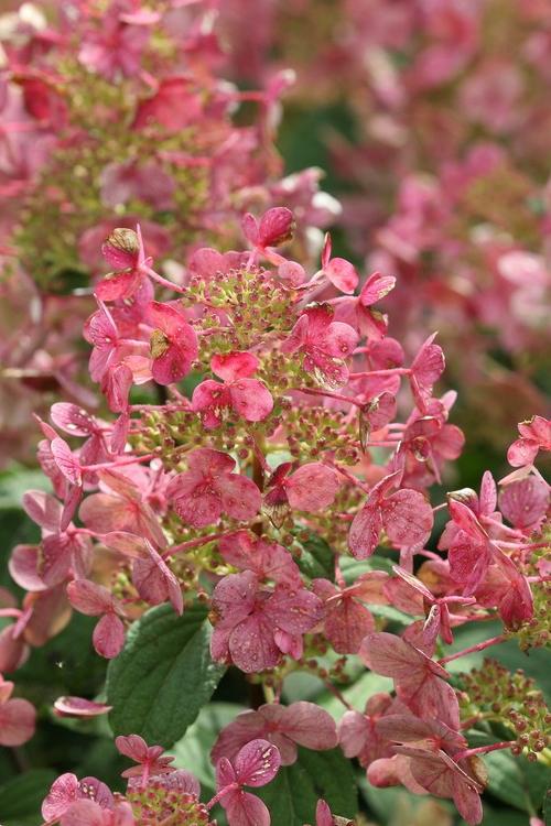 Buy Little Quick Fire Hydrangea Paniculata For Sale Online