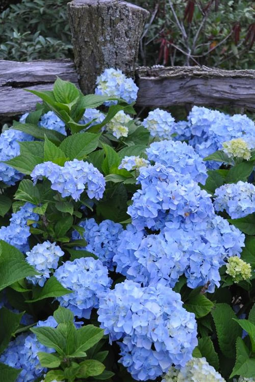 Add To My Lists Nikko Blue Hydrangea