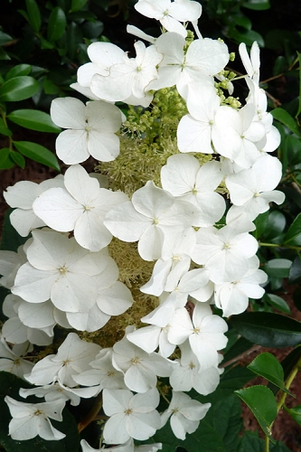 Semmes Beauty Oakleaf Hydrangea - 3 Gallon Pot