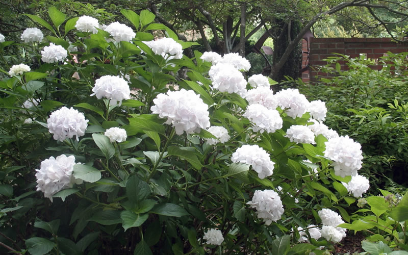 Buy sister theresa hydrangea for sale online from wilson bros gardens sister theresa is a wonderful heirloom that produces large spherical clusters of pristine white flowers even in full shade more details below mightylinksfo