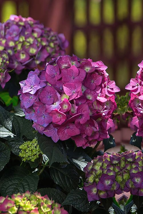 buy summer crush endless summer hydrangea