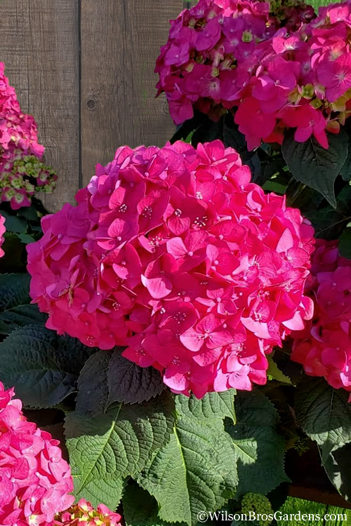 Summer Crush Endless Summer Hydrangea - 1 Gallon Pot