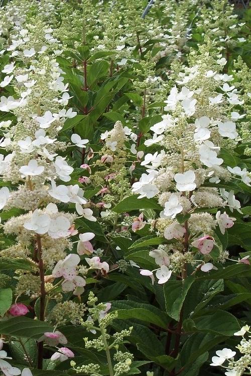 Buy Tardiva Hydrangea Paniculata Plant For Sale Online