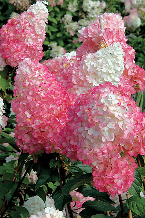Buy Vanilla Strawberry Hydrangea For Sale Online From