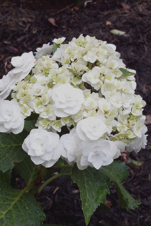 Double Delights Wedding Gown Lacecap Hydrangea - 3 Gallon Pot - (PRE-ORDER: STARTS SHIPPING 11/1/2020)