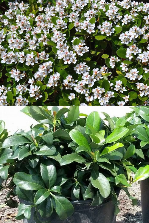 Buy Alba White Indian Hawthorne Plants For Sale Online From Wilson