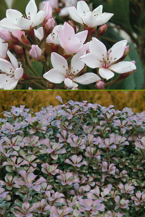 Buy Snowcap Indian Hawthorne Plants For Sale Online From Wilson Bros