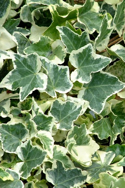 Buy Anne Marie Ivy Hedera Plants For Sale Online From