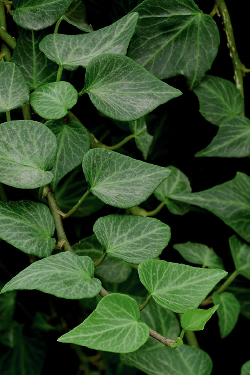 Buy Tear Drop Ivy Hedera Plants For Sale Online From