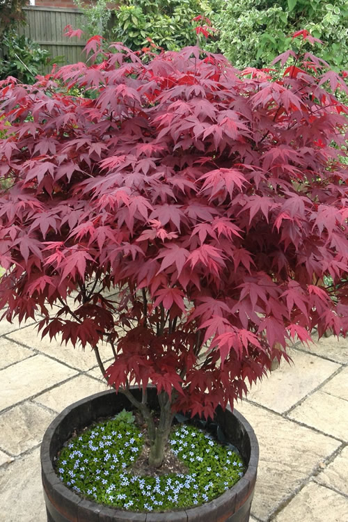 Buy Red Leaf Japanese Maple Tree Free Shipping Acer