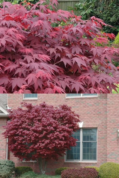 Bloodgood Red Leaf Japanese Maple