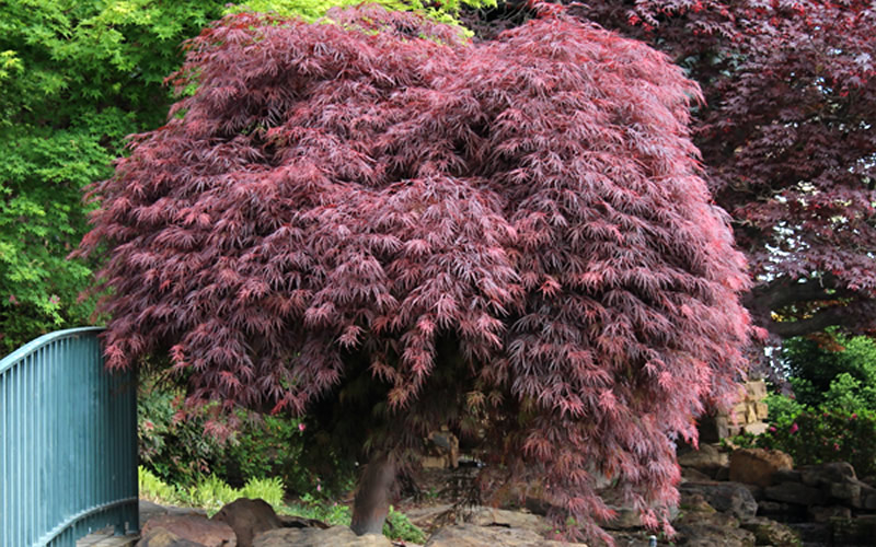 Buy Crimson Queen Dwarf Japanese Maple Free Shipping 1 Gallon
