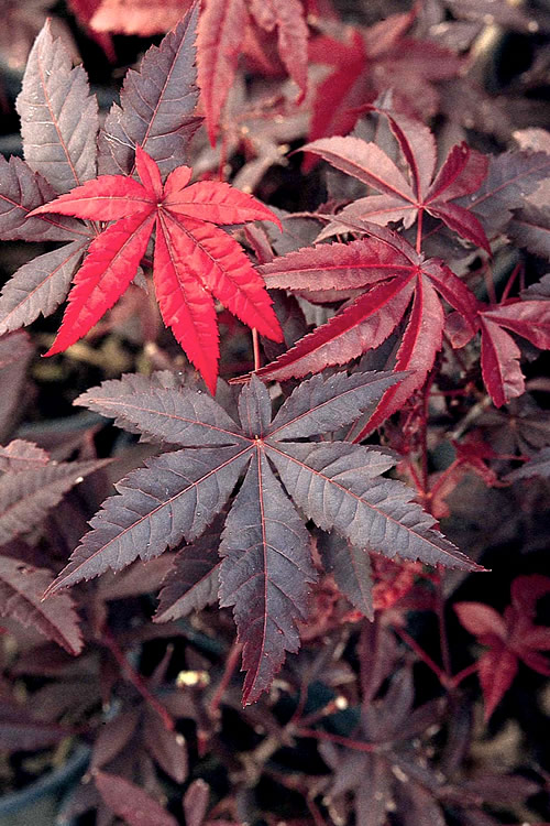 Buy Emperor 1 Japanese Maple Tree For Sale Online From