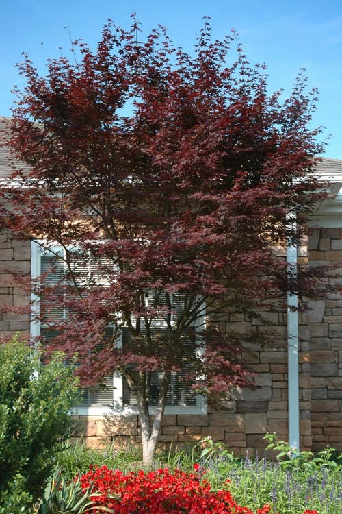 Buy Hefners Red Japanese Maple For Sale Online From Wilson